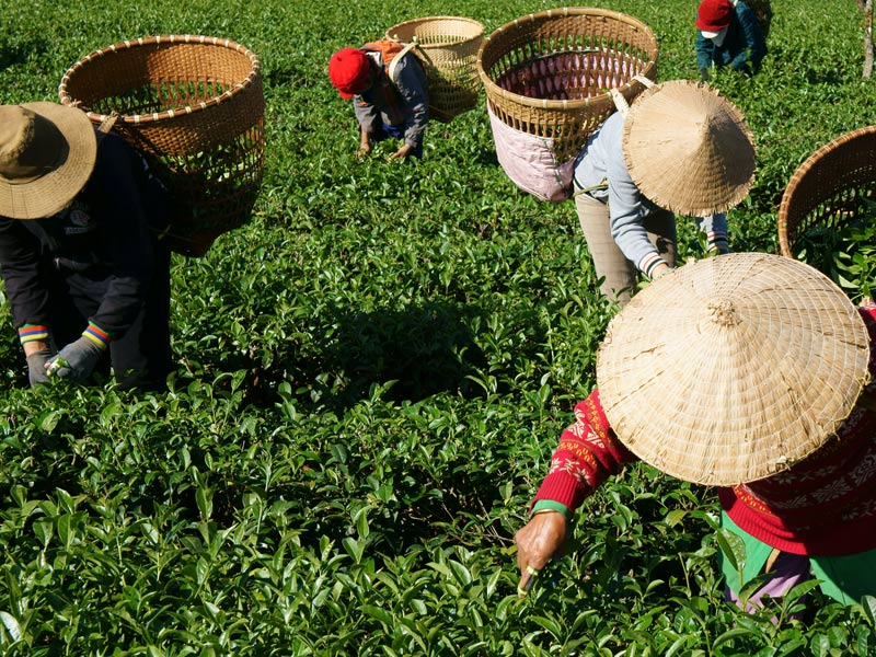 Tea pickers hard at work in Vietnam.