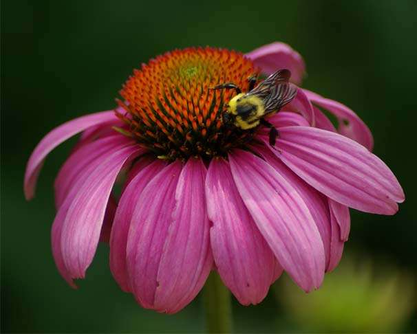A bumblebee stops to take a break on an echinacea plant.